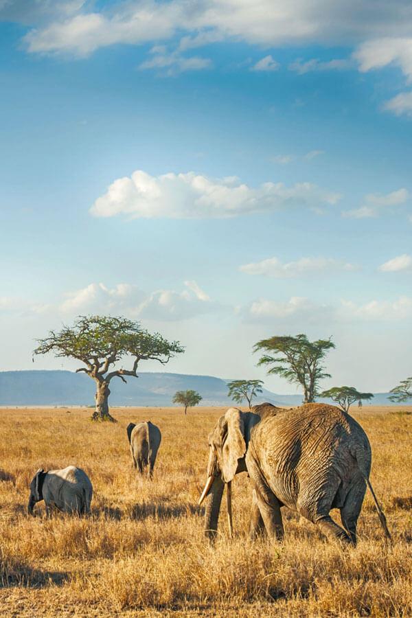 elephants in masai mara reserve